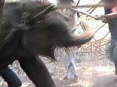 Ahora vemos aun pequeño elefante en una jaula donde varios hombres le pegan con palos