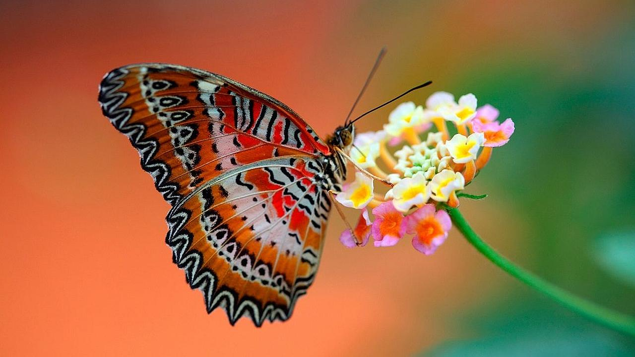 La lucha de la mariposa