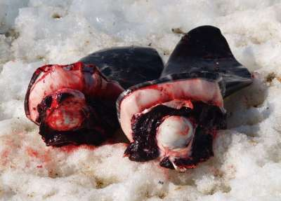 Vemos a unas aves muertas en unos pedazos de piel sobre la nieve