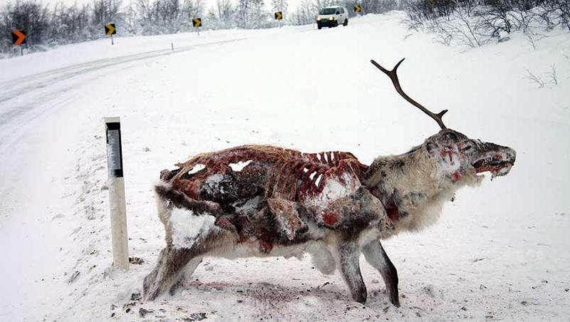 Vemos aun alce sin un cuerno y atascado en la nieve la cual no pudo pasar y quedo allí y murió por congelación