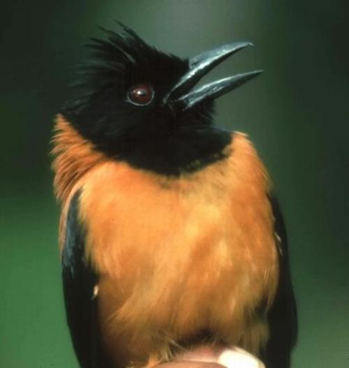 Vemos a un hermoso pajarito en colores negro y naranja