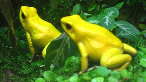 Vemos a dos ranas  color amarillo que se quedan entre la vegetacion