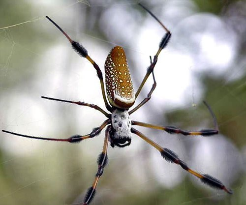 Vemos una araña con torax blanco y patas amarillas que esta sobre sus telarañas