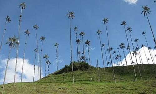 Tenemos un hermoso valle muy verde  sobre el muchísimas altas y esbeltas palmas de cera  y un lindo cielo azul