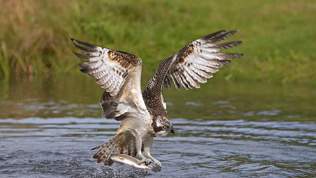 Aguilas Pescadoras