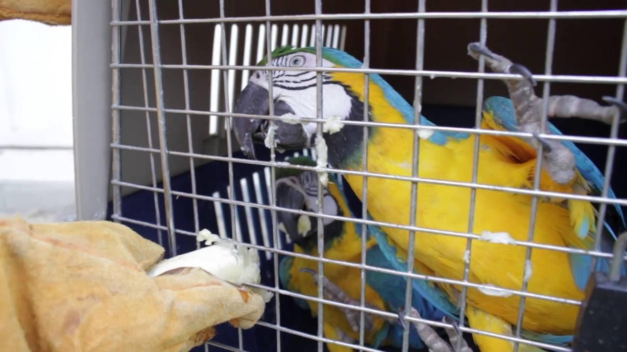 Aves aprenden a cantar con ayuda de la tecnología