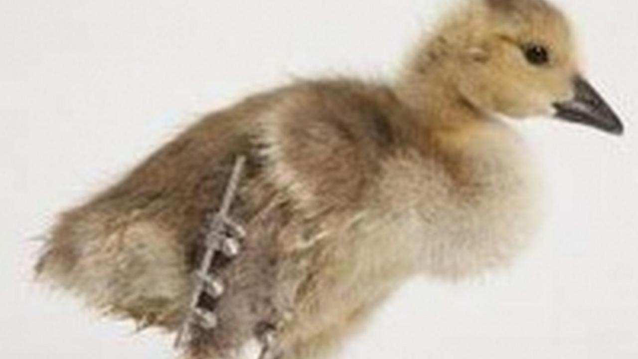 Betty, el primer pato con una pata biónica