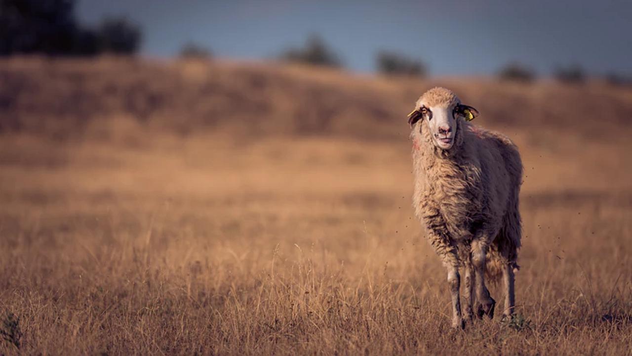 ¿Cabra u oveja?