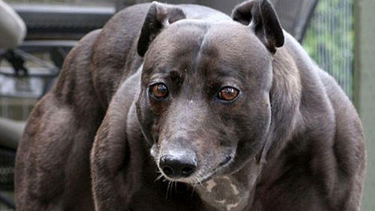 El Perro Más Musculoso del Mundo Hoy es en Realidad una Hembra