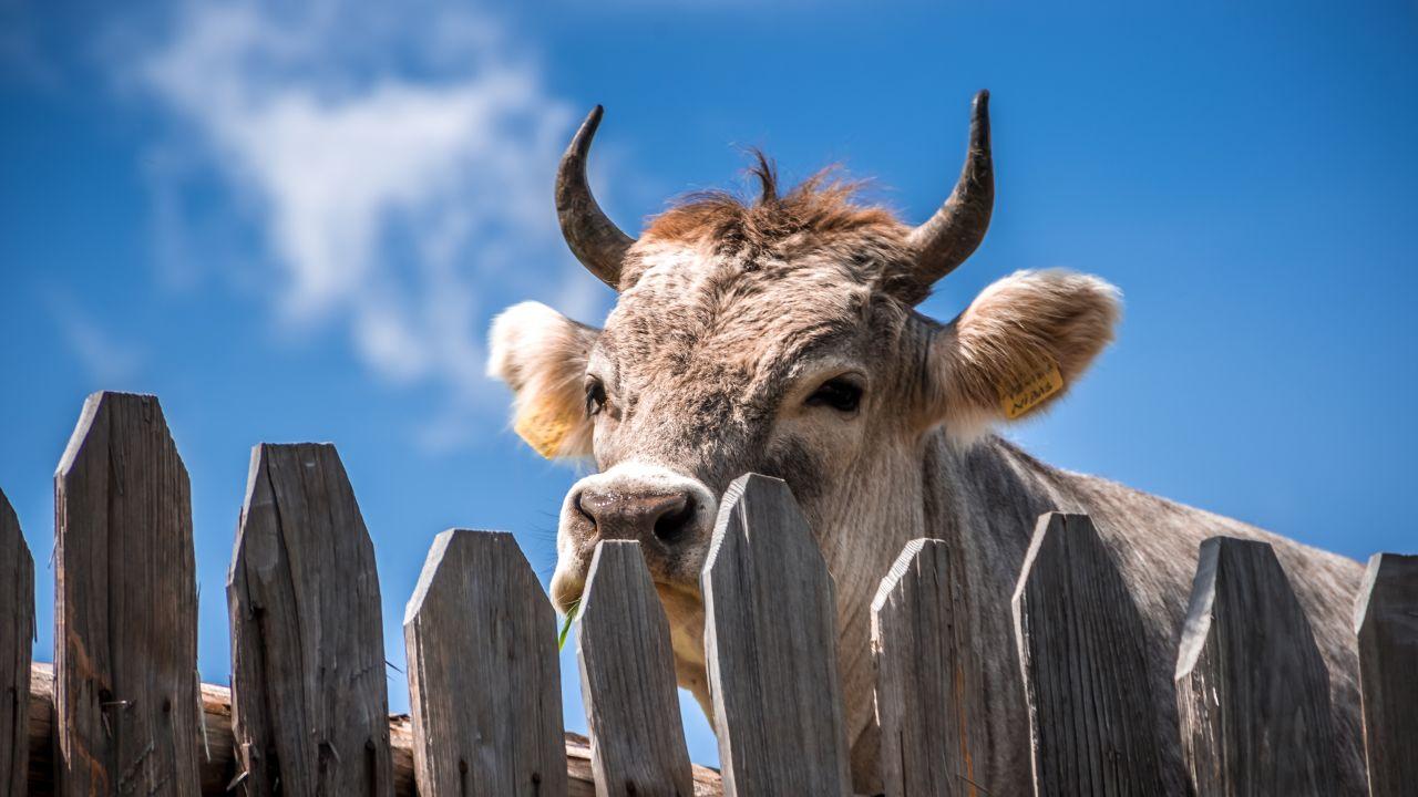 Descubierto por qué las vacas siempre miran al norte