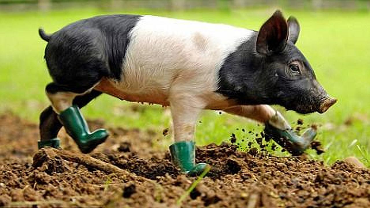El cerdo que no se puede acercar al barro. ¿Irónico?