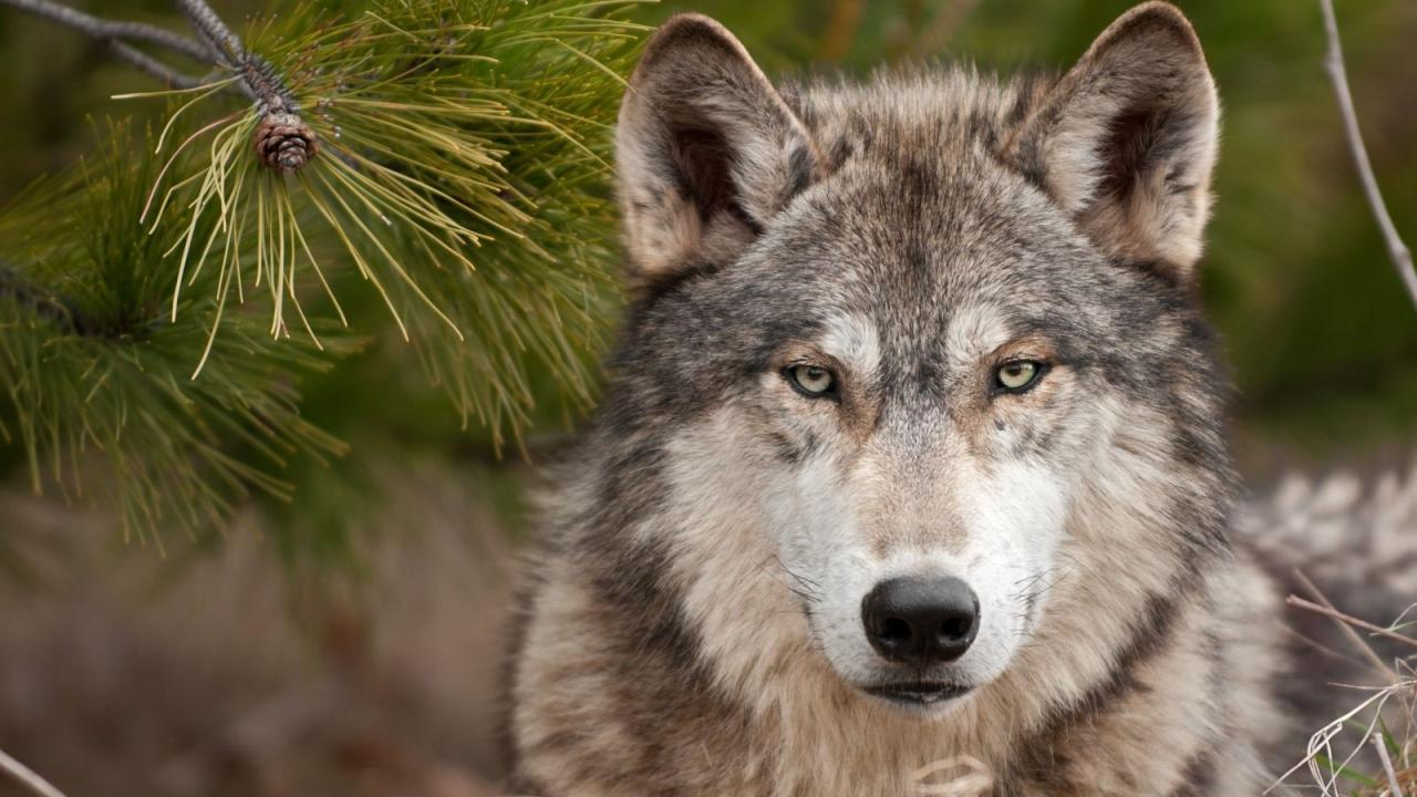 El Lobo y el Asno