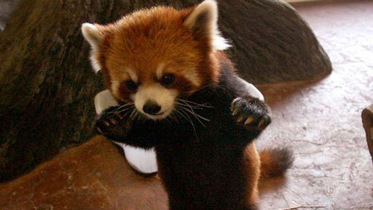 ¡El verdadero Firefox no es un Zorro, es un Panda Rojo!