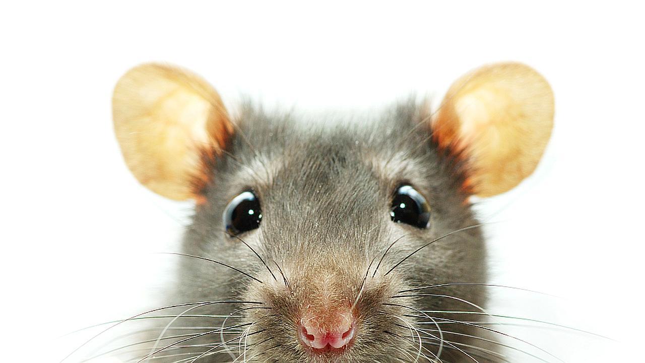 Exterminador de ratas coronado en Bangladesh como campeón
