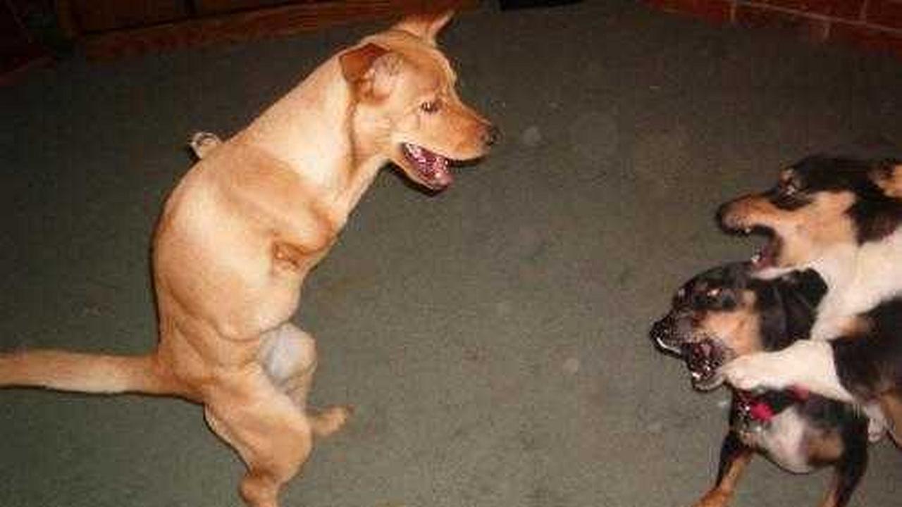 Faith, el perro bipedo
