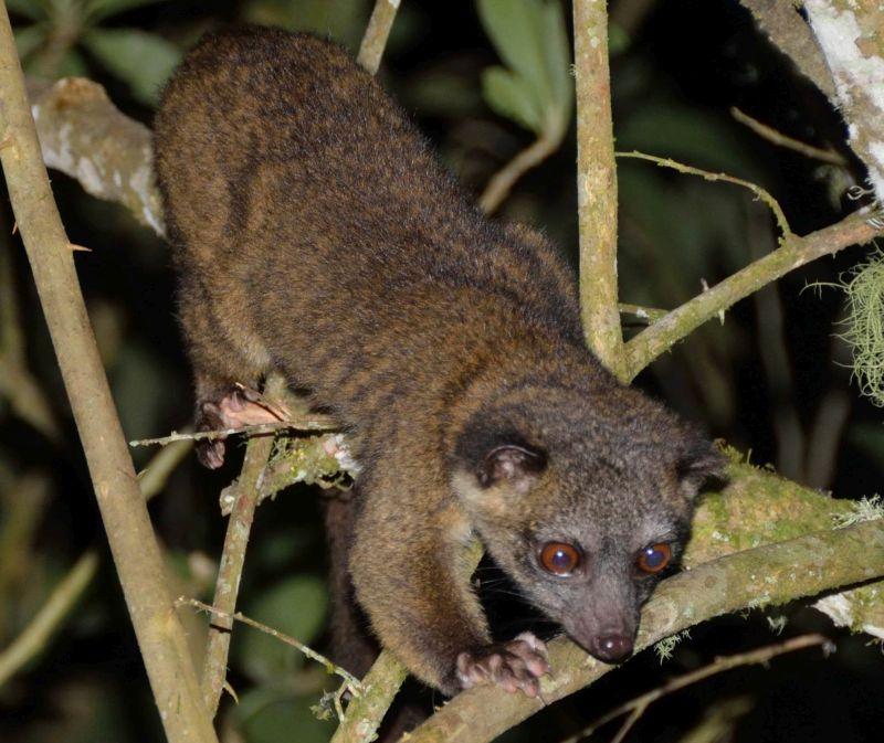 miembro más pequeño de la familia de los mapaches, y parece un cruce entre un gato y un oso de peluche