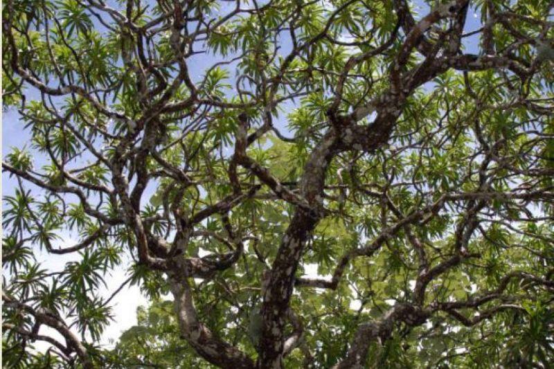 Arbol de 12 metros, sus ramas son bastante delgadas y parecen algo enredadas