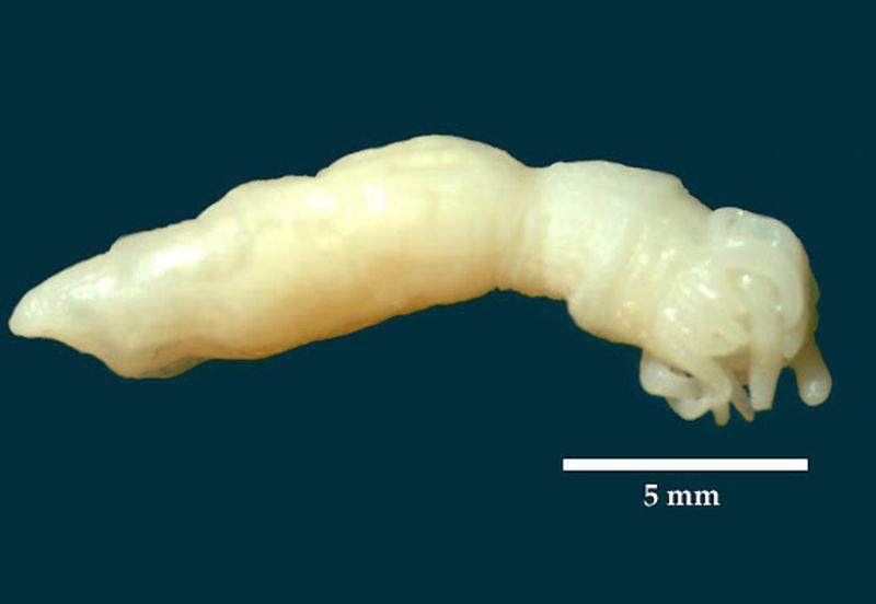 Animal de 2,5 cm de longitud y tienen cerca de dos docenas de tentáculos