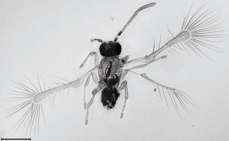 Mosca de 250 micrómetros de largo y alas como cabellos