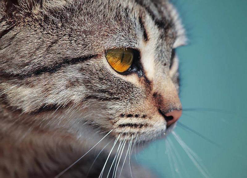 Vemos aun hermoso gato que mira tranquilamente