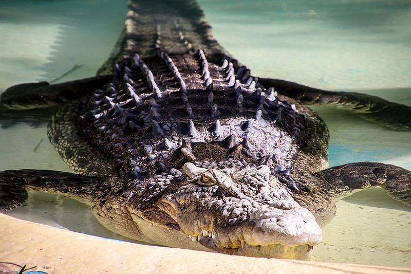 Miramos aun cocodrilo que sale del agua