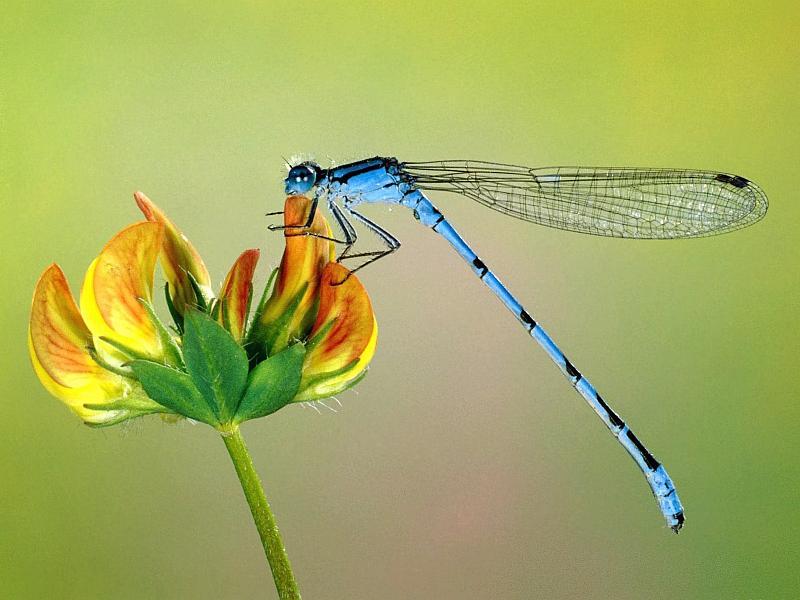 Tenemos aquí a una libélula posándose sobre una flor amarilla