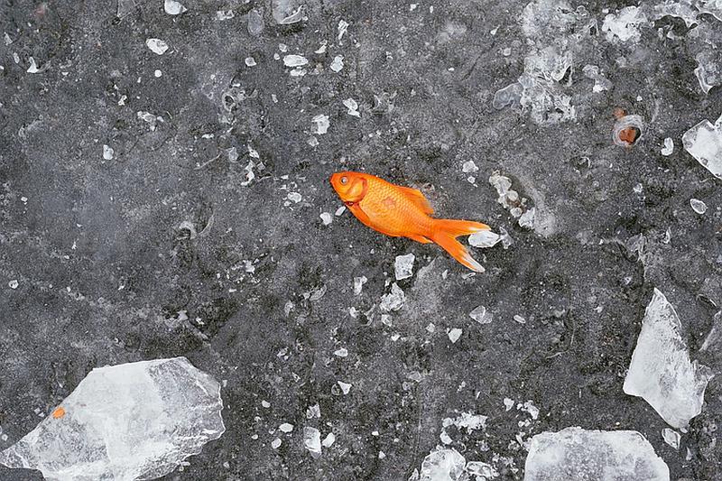 Vemos aun hermoso pez dorado fuera del agua