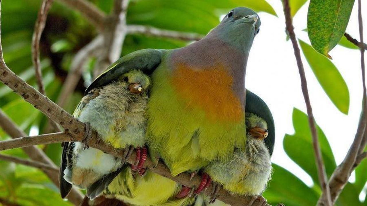 Un ave entre el follage abrazando a sus dos polluelos