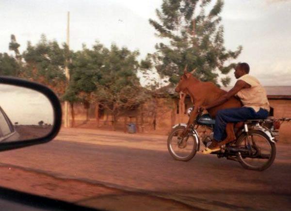 Un hombre de color lleva montada un vaca en su moto