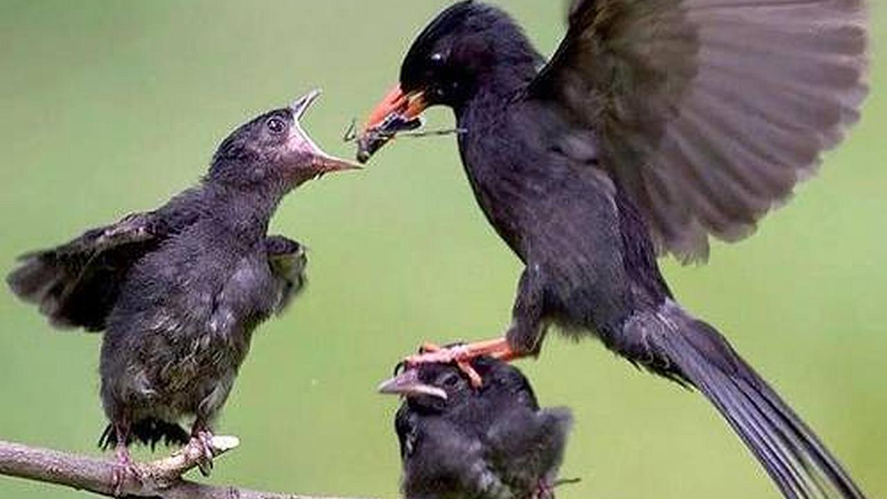 Un ave que da de comer a una de sus crías mientras el otro recibe sobre su cabeza la pata de su progenitora