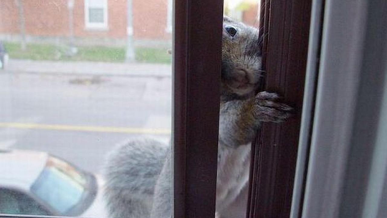 Una ardilla trata de entrar por una ventana mientras es observada