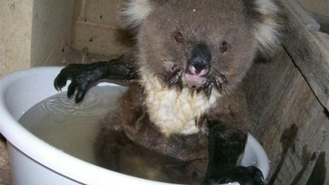 Un koala en una bañera