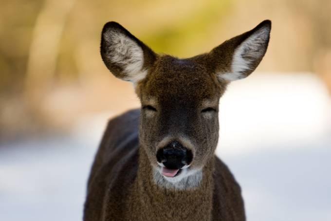 Un ciervo  con los ojos cerrados y la lengua afuera