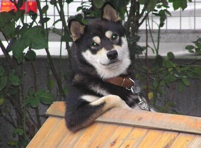 Un perro lobo de pie con su hombro en el techo de su casita