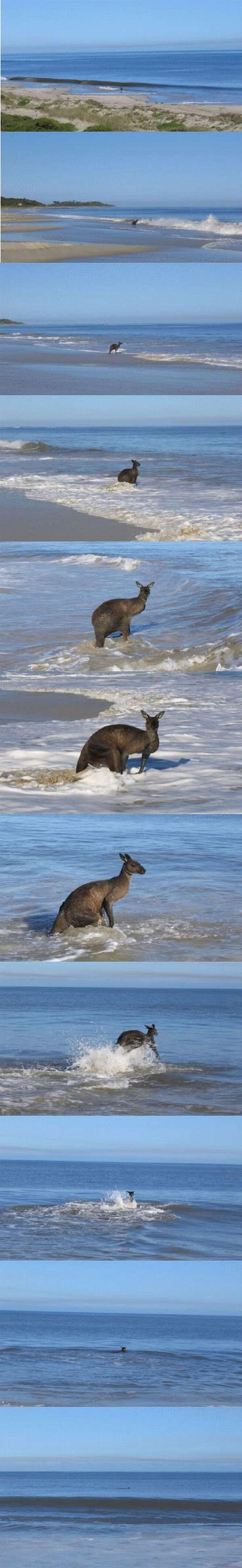 Una secuencia de imágenes en las cuales se ve como un Canguro nada