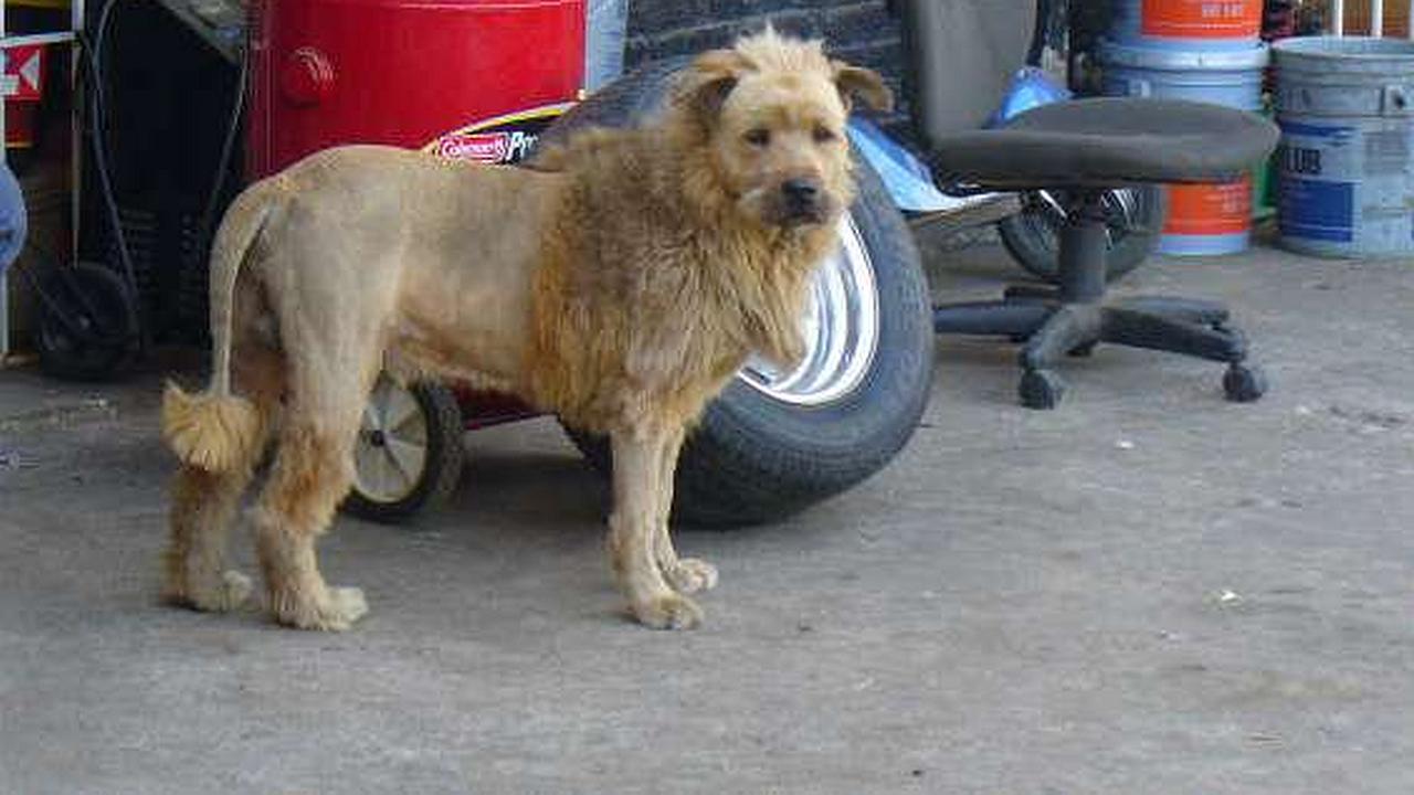 Un perro con motilado al estilo  de león