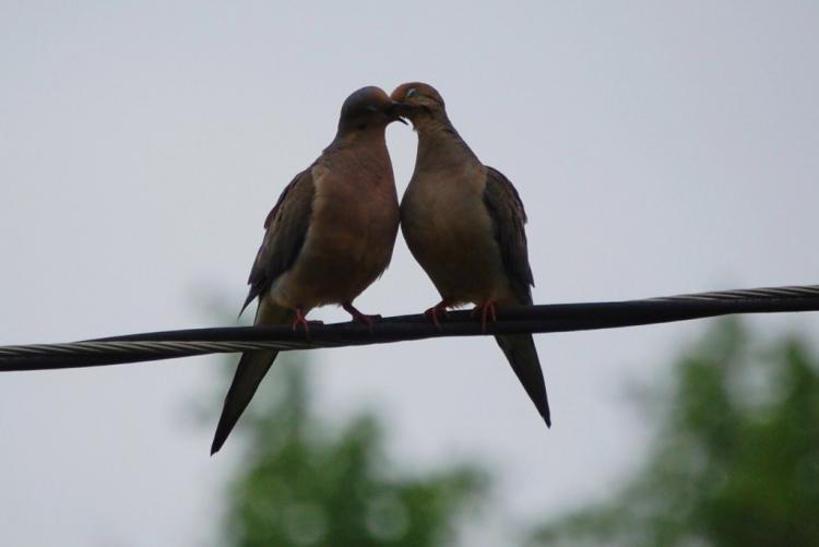 Dos palomas besandose  paradas en un cable de luz