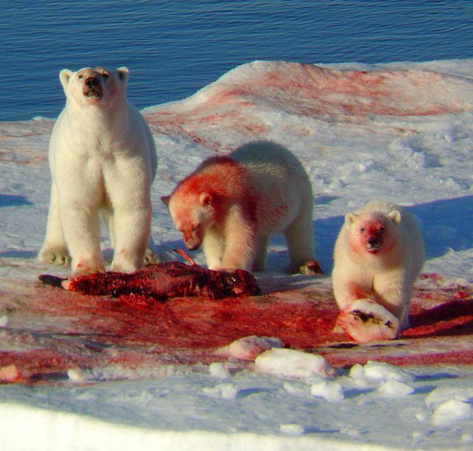 Tres osos polares  untados de sangre en la trompa después de comerse un animal