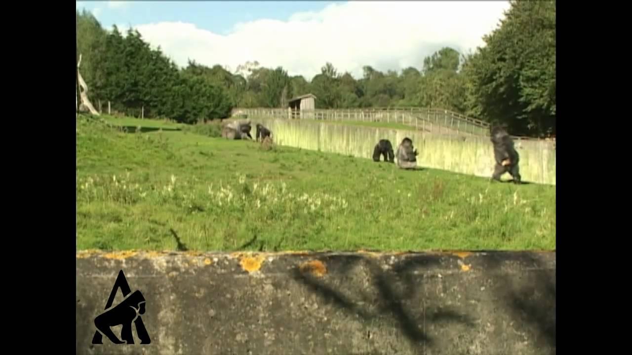 Gorila en zoológico ingles es capturado en video caminado como un humano