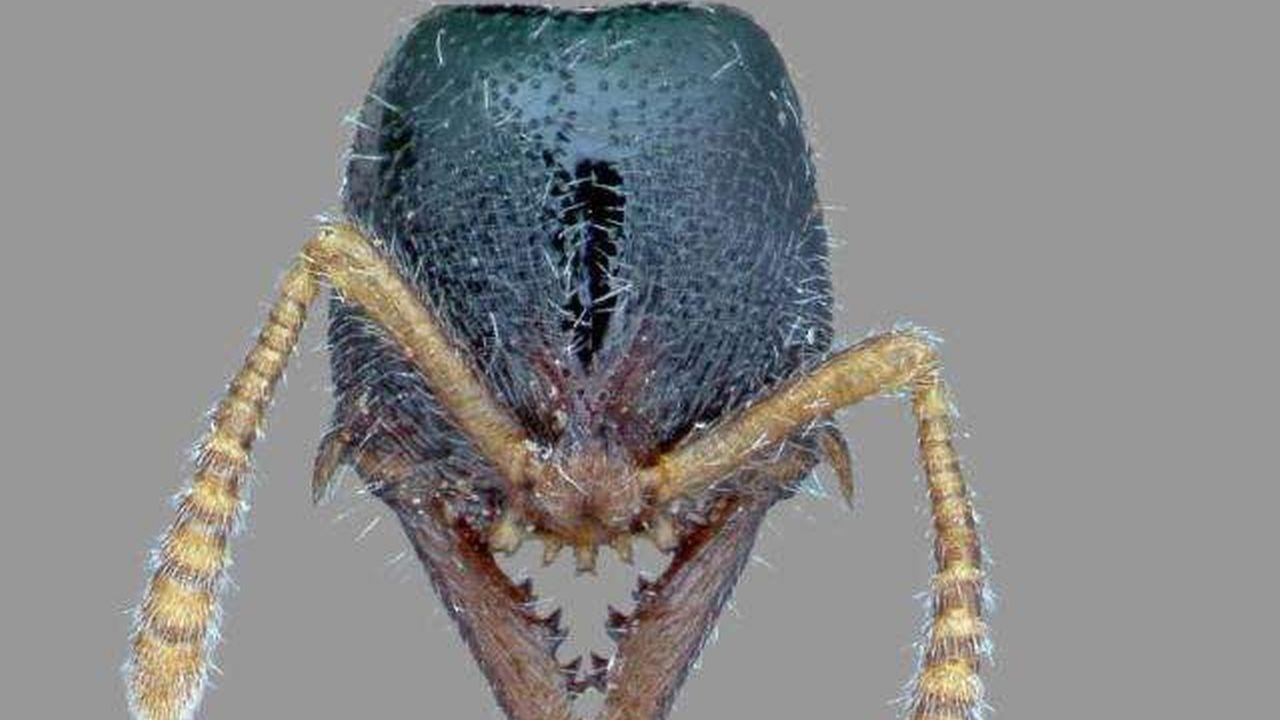 Imágenes del rostro de las hormigas