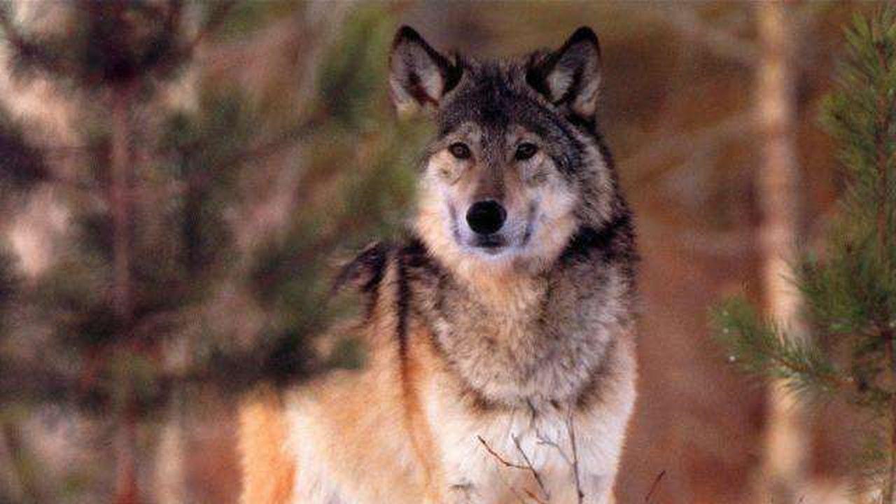 La belleza del lobo en imágenes