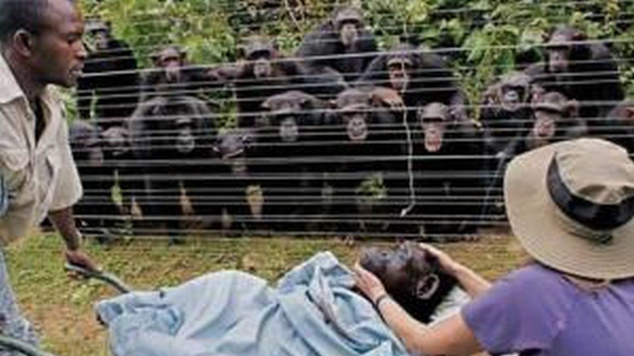 La historia detrás del Funeral Chimpancé