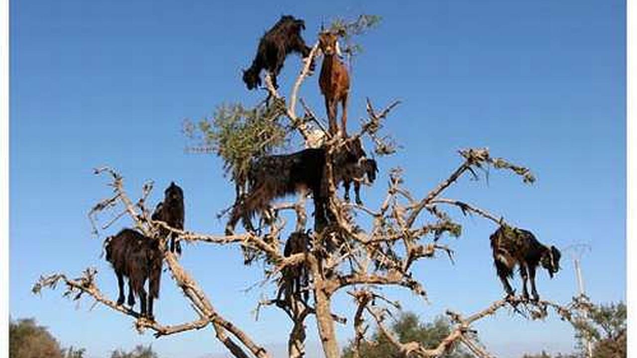 Las cabras trepadoras de árboles marroquíes