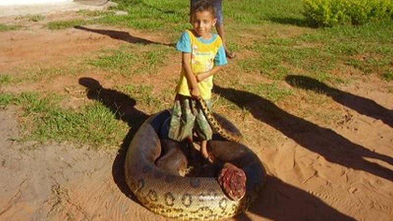 Muerte de una gran anaconda en Sri Lanka