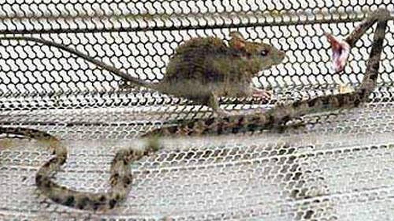Pequeño ratón asesina serpiente
