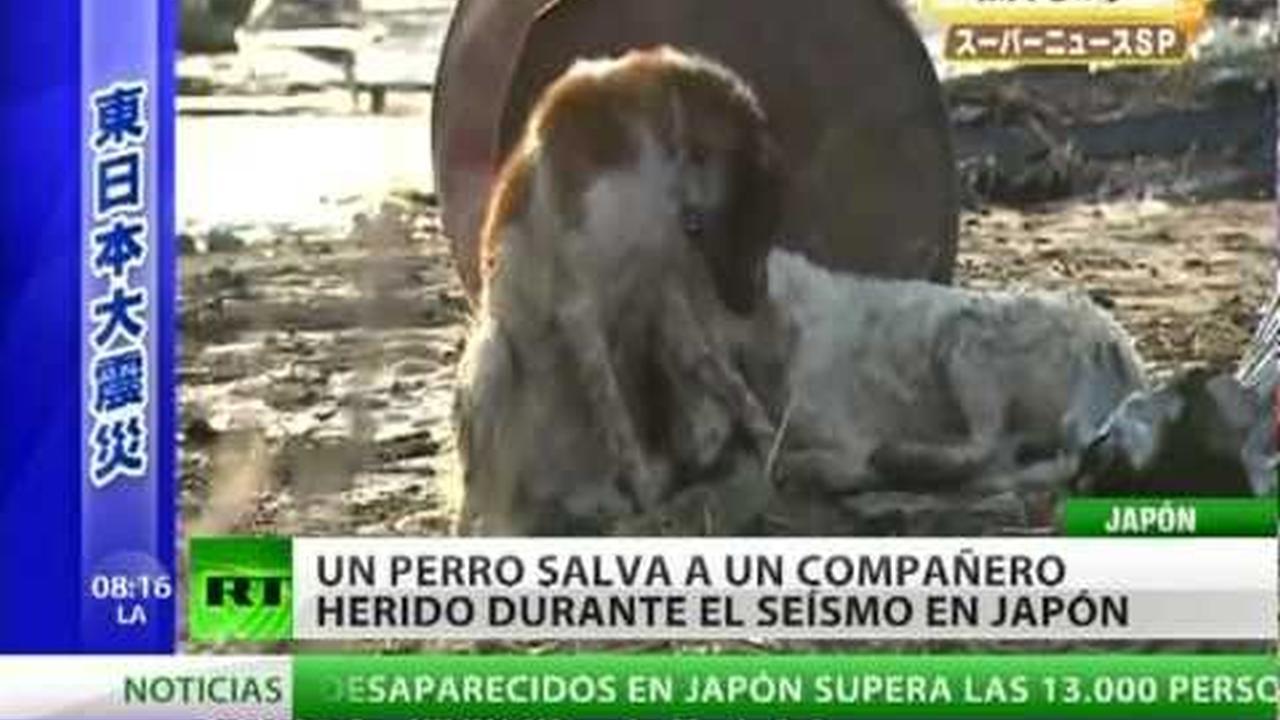 Perro arriesga su vida para salvar a un amigo herido