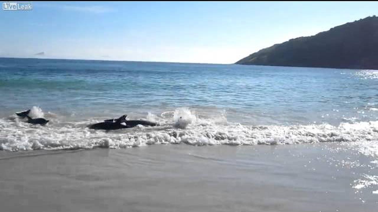 Personas en la playa rescatando delfines a punto de morir