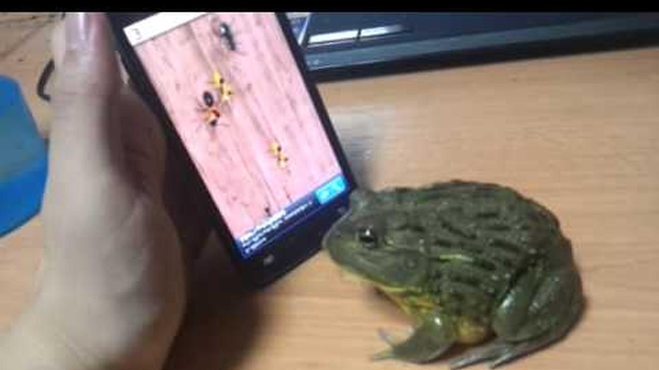 Un sapo comiendo insectos en la pantalla tactil de un celular